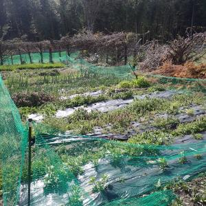 畑をニワトリに開放・ニワトリの除草効果(2021年4月3日)
