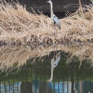 館林の城沼で野鳥や水鳥の撮影!