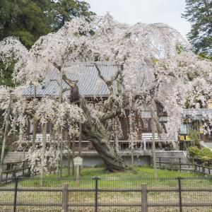 太山寺(たいさんじ)の御朱印としだれ桜