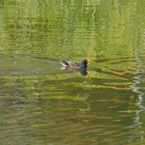 館林の城沼〜つつじが岡公園で4月の野鳥写真を撮ってきました!