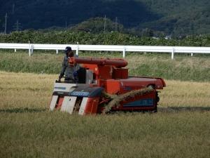 2日目の稲刈り