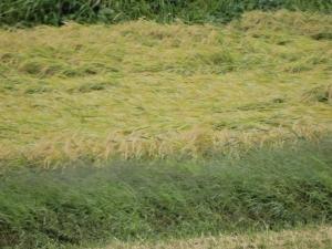 稲刈り終わる!