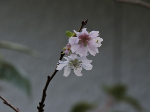 4回目の「桜」