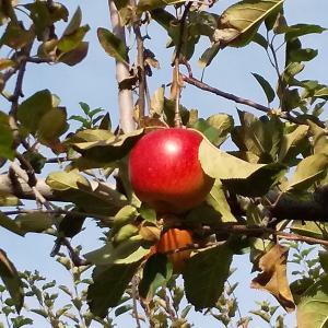 リンゴ狩りと皇帝ダリア