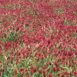 クリムゾンクローバー畑