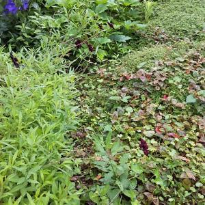 チョコレートコスモスと、見逃した一番花ヘブンリーブルー