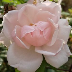 夏のバラたち