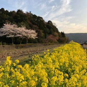 桜と菜の花とビーツスムージー