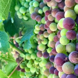 Grape growers 〜ぶどう栽培者〜