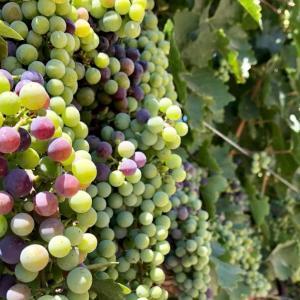 A lineup of beautiful grapes 〜美しいぶどうのラインアップ〜