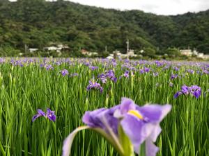 オクラレルの花満開です