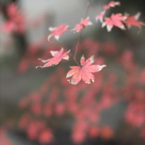 紅葉の岡山後楽園を写しました!