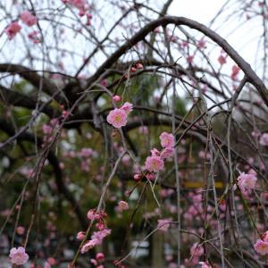 石山公園の梅を写しました!