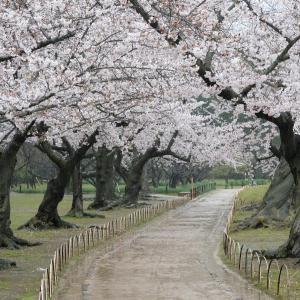 桜満開の後楽園を写しました! 4月 1日