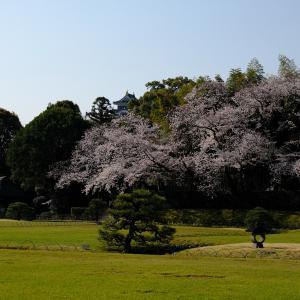 後楽園の桜を写しました! 4月4日