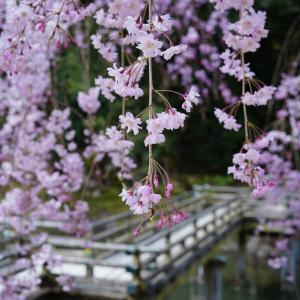 枝垂れ桜満開の後楽園を写しました!