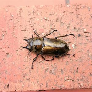 不明な幼虫、ババオウゴンオニでした(^^♪
