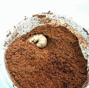 ミラビリスノコギリ幼虫 ボトルへ移行