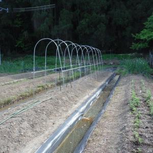 畑にもトマトの雨よけ設置