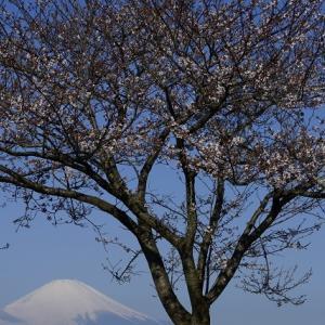 湘南平桜。