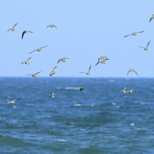 アオバト海上飛翔。