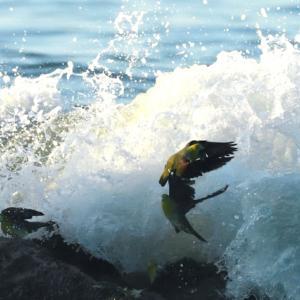 アオバト波被り。