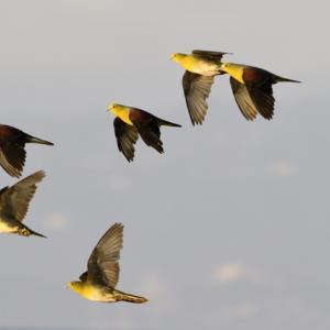 黄金色のアオバト飛翔。
