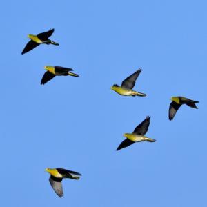 アオバト青空バックの飛翔。