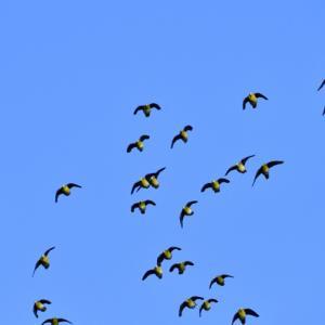 アオバト青空バックの大飛翔。