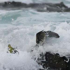 アオバト波被り
