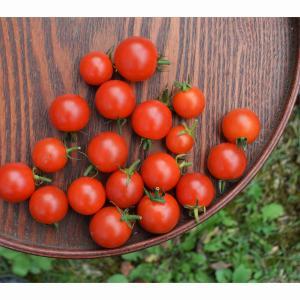 白馬産のミニトマト