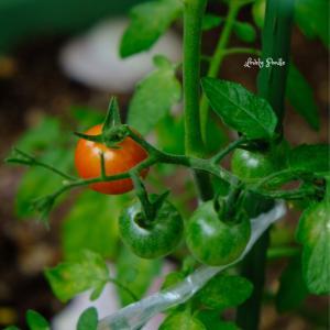 今年のミニトマト ♪