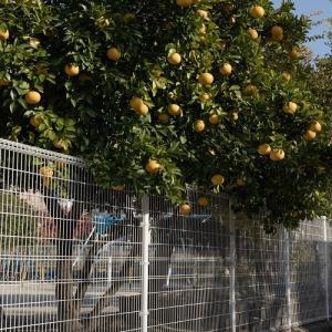 果物実る木 ♪