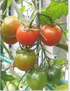 秋トマトと微生物