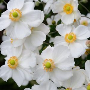 中身のクッションに被せてみました&いっぱい咲いた秋明菊