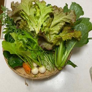 秋まきの野菜 収穫