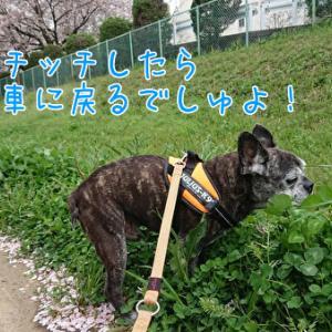桜さん。今年もありがとう♪