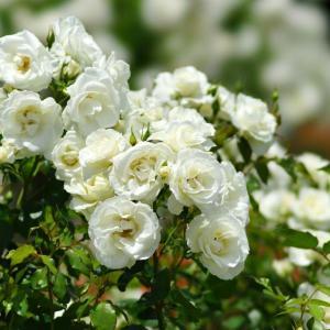 長居植物園のバラ(1)@2020-06-20