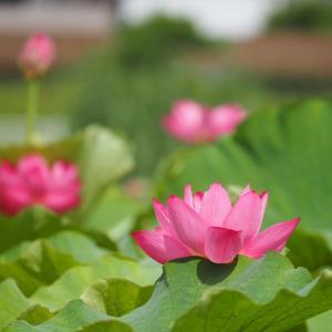 白鷺公園のハスの花(1)@2020-07-12
