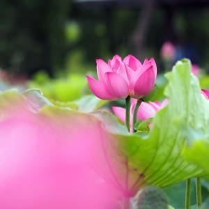 白鷺公園のハスの花(2)@2020-07-12