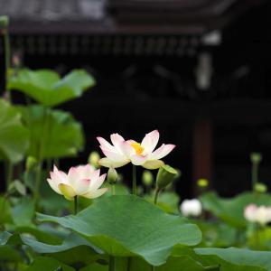 三室戸寺のハスの花@2020-07-15