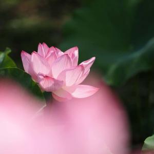 万博公園のハスの花(2)@2020-07-19