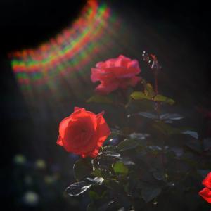 霊山寺のバラ(1)@2020-10-31
