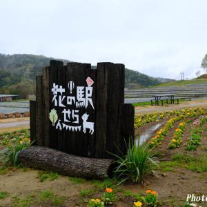 花の駅せらのシバザクラ(1)@2021-04-17
