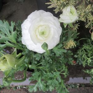 ラナンキュラスとビオラの咲き方