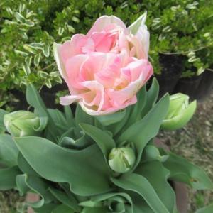 今日咲いたチューリップとずっと咲いてるマイクロワックス