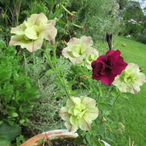 何だこのペチュニア?と再び開花と夏の花