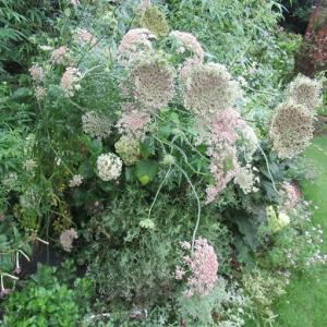 雨の中の花とニチニチソウ