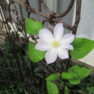 クレマチスとニチニチソウと二つのニンジンの花
