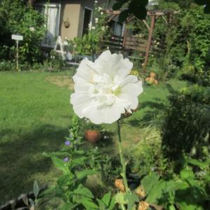 終盤の花とサルビアとゴーヤ